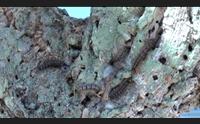 le sugherete del goceano devastate dalla limantria un disastro