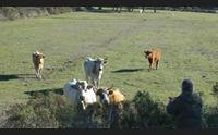 calangianus protestano gli allevatori di bovini siamo senza vaccini