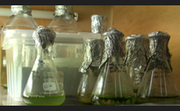 microalghe sarde una grande opportunit per le aziende