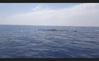 villasimius eccezionale sosta di balene nell area marina protetta