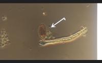 cagliari alga tossica a calamosca meglio non fare il bagno