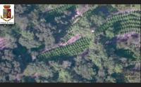 teti blitz antidroga della polizia sequestrate 2500 piante di canapa