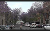 cagliari la straordinaria fioritura della jacaranda nei viali cittadini