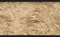 grano crollo della pruduzione al via progetto salva cerealicoltori