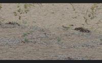 bari sardo nati in spiaggia i primi esemplari del corriere piccolo