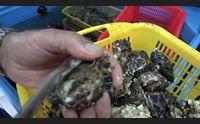 olbia in crescita la produzione di ostriche adesso il marchio igp