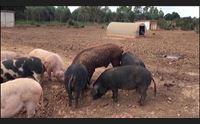peste suina africana ok alla caccia nelle zone infette una sorveglianza attiva