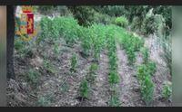 scoperta una piantagione di cannabis a orgosolo in cella un 19enne