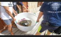 cabras torna in mare la tartaruga che aveva ingerito plastica
