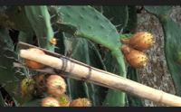 fichi d india dimenticati da olzai l appello cercasi coltivatori
