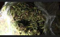 settimo essicca in casa 250 chili di marijuana tradito dall odore