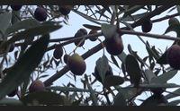 ittiri frana la strada oliveti inacessibili e raccolta in forse