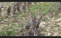 nel mandrolisai l albo dei vigneti storici il vino economia del territorio