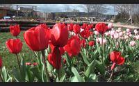 domani a turri riapre il parco dei tulipani con 300mila fiori
