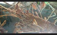 alghero salta la stagione dell aragosta marinai in ginocchio
