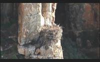 alghero dopo 50 anni a capo caccia nidifica il falco pescatore