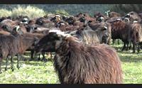 arbus il marchio pecora nera modello fra le biodiversit isolane