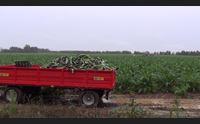 samassi la raccolta dei carciofi le piogge hanno salvato la stagione