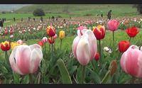 turri apre il parco dei tulipani 300mila fiori in mezzo alla marmilla